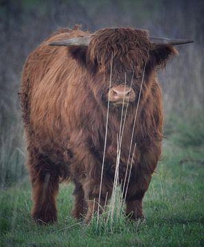 Schotse hooglander van Jitske Van der gaast