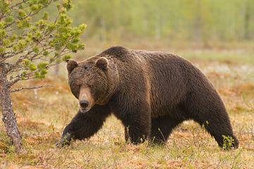Bruine beer van Finland von Ron van Elst