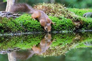 Drinkende eekhoorn met reflectie van