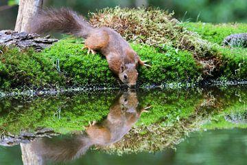 Drinkende eekhoorn met reflectie van T de Smit