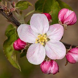 Appelbloesem 2 van Adelheid Smitt