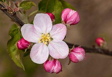 Apfelblüte 2 von Adelheid Smitt