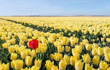 Auffallende rote Tulpe in einem gelben Tulpenfeld von Ruud Morijn