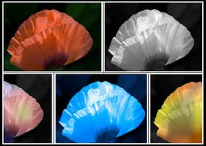 Compositie Klaproos in kleuren