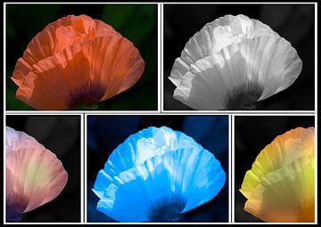 Compositie Klaproos in kleuren van