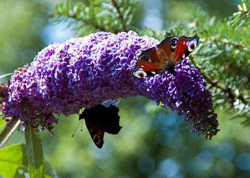 Vlinders op de vlinderstruik van