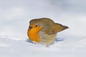 Roodborst in de sneeuw van Remco Van Daalen