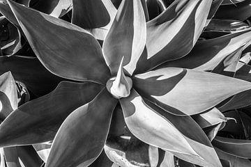 Agave, Schwarz-Weiß-Foto von Antoine Ramakers