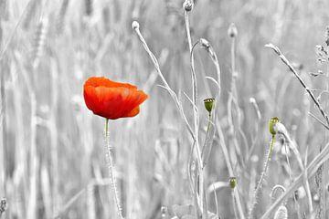 Mohnblume, herausspringend von Jan Brons