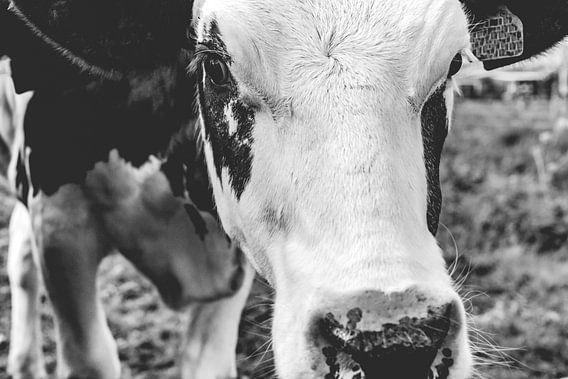 Jonge koe in een weiland