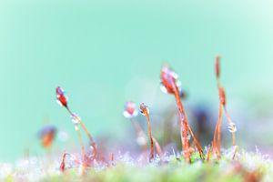 Een macrofoto van mos met waterdruppels.