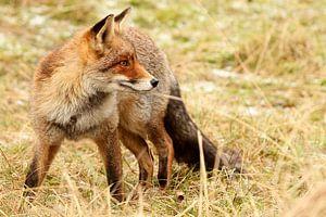 Rode vos kijkt achterom