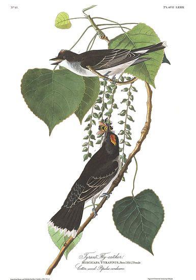 Koningstiran van Birds of America