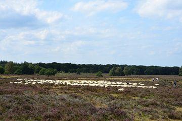 Eine Schafherde auf der Heide von Gerard de Zwaan