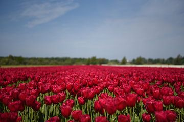 Rote Tulpen in der Zwiebelregion von Maartje Abrahams
