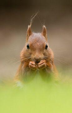 Red Squirrel sur Menno Schaefer