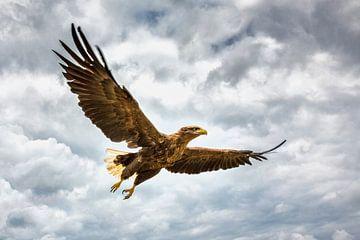 Aigle à queue blanche sur Frans Lemmens