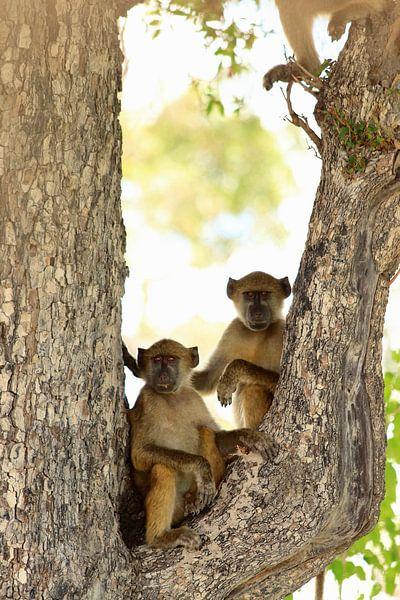 Twee bavianen in een boom. Grappig dieren. van Bobsphotography