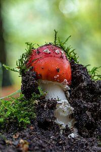 Nieuwe paddenstoel. van
