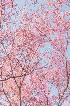 Kirschblüten in der Abendsonne von Mickéle Godderis