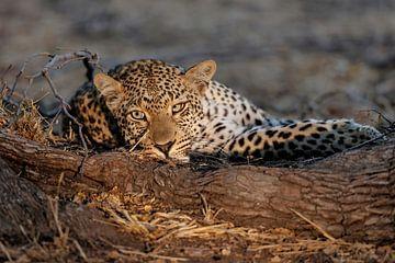 Leopard Porträt von Henk Bogaard