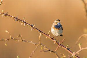 Blaukehlchen im frühen Frühlingsmorgenlicht auf der Suche nach einem Blaukehlchenweibchen. von Cees van Vliet