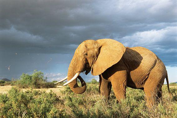 Afrikaanse olifant (Loxodonta africana) in de savanne