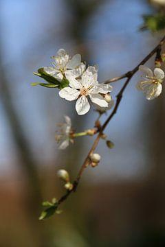 Weißer Blütenzweig von Rianne Fotografeert