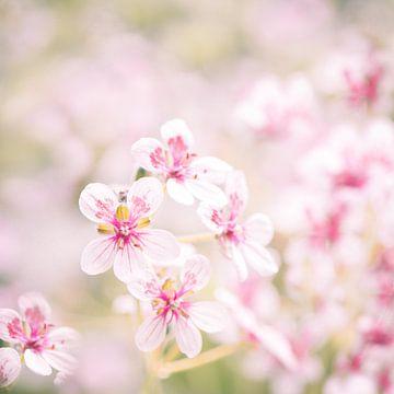 Roze schoonheid van