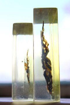 Gevangen vlucht -Vlinders in plexiglas van E11en  den Hollander