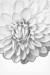Zwart wit Dahlia