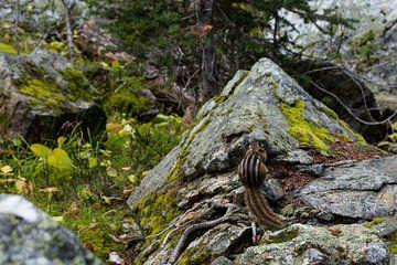 Beledigde eekhoorn, Canada van Milou Mouchart