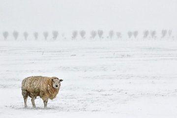 Schaap in sneeuwlandschap van Henk Bogaard