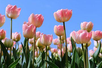 Roze tulpen in het veld van Ivonne Wierink