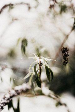 Schmetterlingsstrauch im Schnee | Outdoor-Fotografie von Holly Klein Oonk