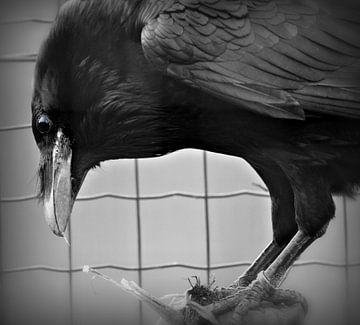 Raaf / Raven van Pascal Engelbarts