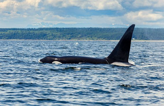 Een grote rugvin van een orka