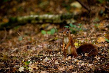 Eichhörnchen von Ronald Bruijniks