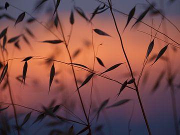 Gras bij zonsondergang van