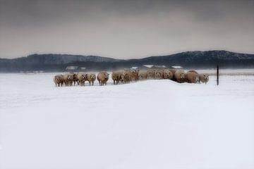 Schapen in Zeeland tijdens sneeuwstorm sur Wout Kok