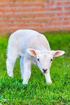 Close up pasgeboren lam staat in groene wei in lente van Ben Schonewille