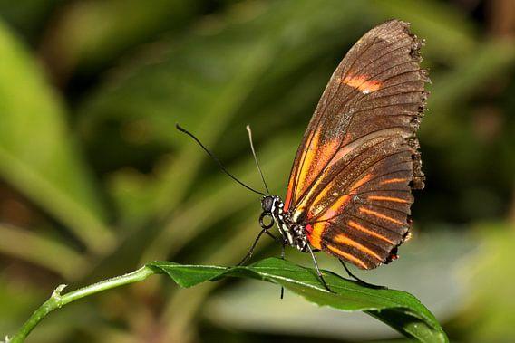 Monarchvlinder van Antwan Janssen