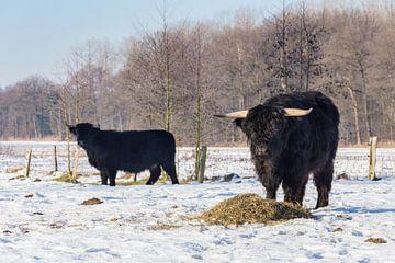 Schwarz schottischen Highlander Kühe im Winter Schnee von Ben Schonewille