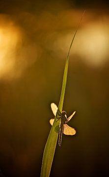 Gewone Oeverlibel bij zonsopkomst von Erik Veldkamp