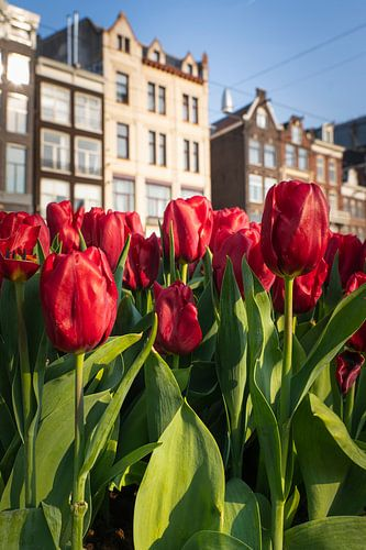 Bloeiende tulpen aan de Damrak in Amsterdam