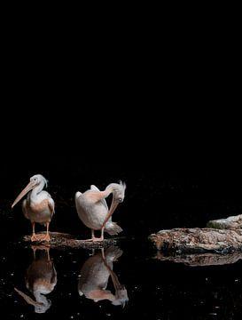 Roze pelikanen in de zon tegen een zwarte achtergrond van Peter van Dam