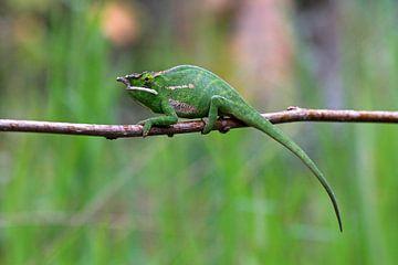 Petter's White Lipped Chameleon van Antwan Janssen