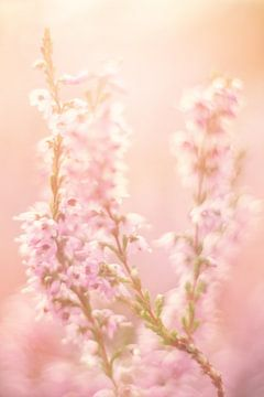 Heidekraut in zarten Pastelltönen von Roosmarijn Bruijns
