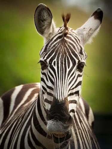 De gestreepte zebra