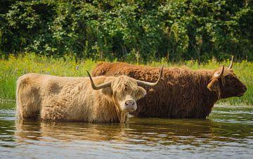 Schotse Hooglanders van Ans Bastiaanssen